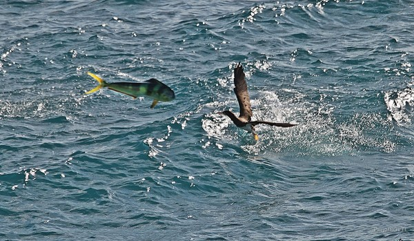 Mahi-Mahi-jumping-on-the-bird-Booby-by-Patty-Meotti