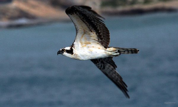 The-Osprey(Pandion-Haliaetus)by-Patty-Meotti