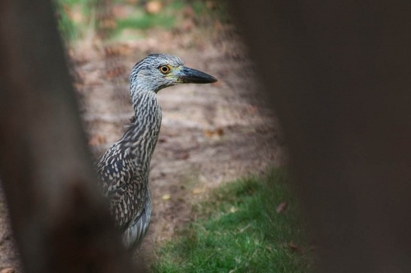 A juvenile Yellow-crowned Night Heron, seen through trees.