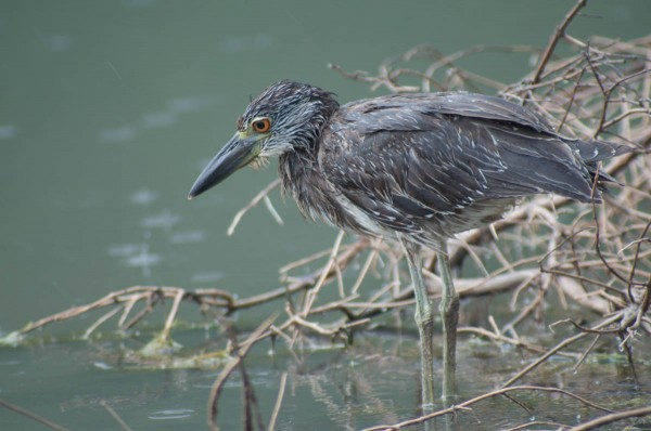 This heron was shot with a wide open aperture. Possibly not as sharp as it could be, but not bad, either.