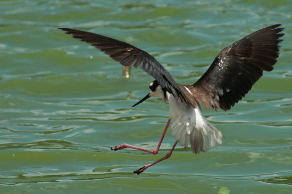 Wings, legs and tail are all in motion as this Black-necked Stilt comes down for a landing.