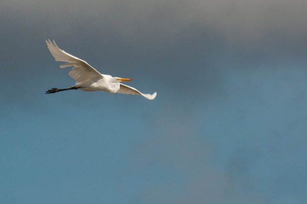 A Great Egret passes horizontally through the frame.