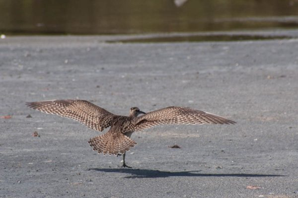 The moment before touchdown gives a perfect view of a Whimbrels wing and tail feathers. It's one of the relatively rare situations when a photo from behind is valuable.