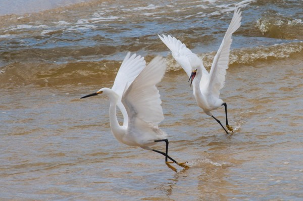 When Snowy Egrets gather at a prime foraging spot be on the lookout for confrontation.
