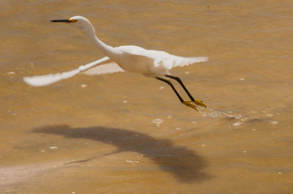 Not all parts are moving with equal speed. This Snowy Egret's wingtips are moving much faster than the rest of the bird.