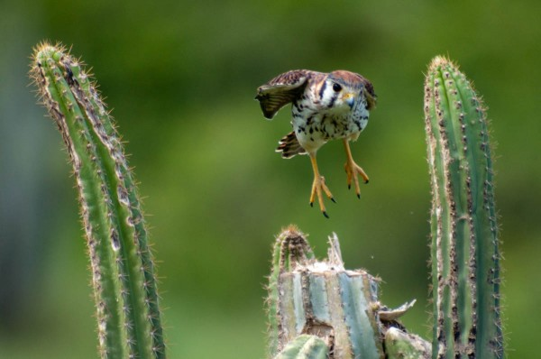The American Kestrel takes flight with a short hop.