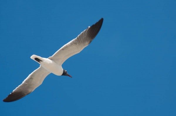 Although shot from behind, this Laughing Gull's face is still visible, making the shot more interesting.