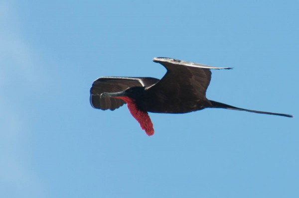 A male Magnificent Frigatebird in profile accentuates its throat pouch.
