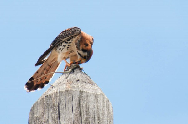 An American Kestrel eats an Anguilla Bank Ameiva. During a meal like this you will almost surely have time to take multiple shots, so take advantage of that opportunity.