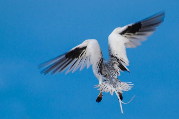 A Red-billed Tropicbird slows down as it approaches its nest in a cliff. The motion gives the photo a sense of vitality even though the bird's face is not visible.