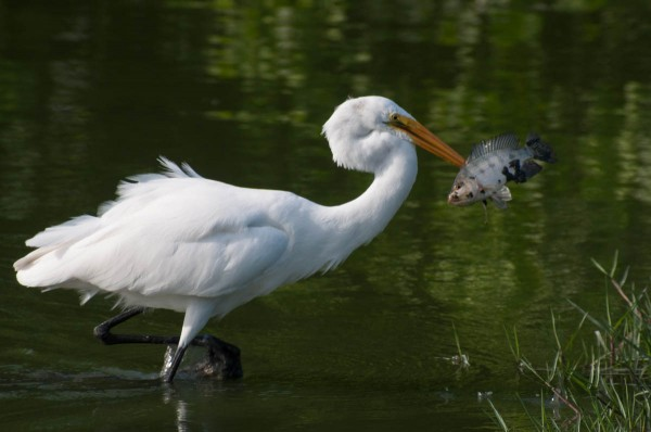 The Great Egret uses its bill to spear fish. In this photo, the method of capture is clear.