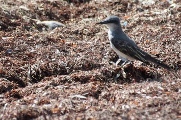 A Gray Kingbird with a broken beak started hunting for insects and other invertebrates in decaying sargassum on the ground rather than flying insects.