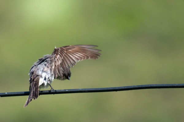 A raised wing gives a great view of the flight feathers on this Gray Kingbird.