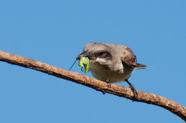 The Gray Kingbird tenderizes a katydid before eating it. This is another behavior that requires a fast shutter speed to capture.