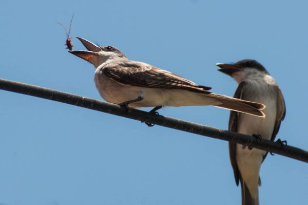 A Gray Kingbird flips a cerambycid beetle into the air like a pancake before swallowing it.