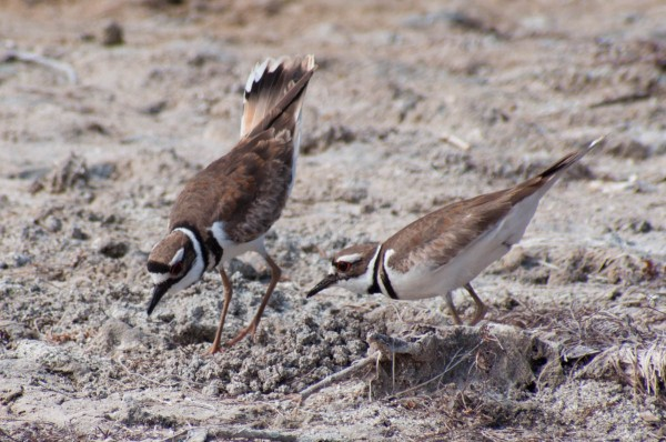 A pair of Killdeer perform a scrape ceremony, part of the breeding process that involves suggesting and agreeing upon a nesting site. A behavior like this is impossible to capture in a single photo, so it is best to take many to capture different parts of the interaction, and hopefully some that express the essence of what the birds were doing.