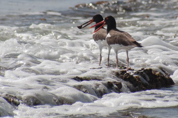 Juvenile American Oystercatchers are often seen with their parents. Perhaps it takes time to learn how to find and extract the shellfish they eat.