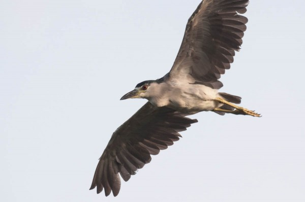 A boring gray background diminishes an otherwise strong photo of a Black-crowned Night Heron.