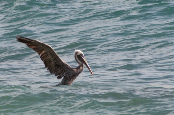 Large birds, like the Brown Pelican can take longer to get airborne, making it easier to photograph their takeoff.