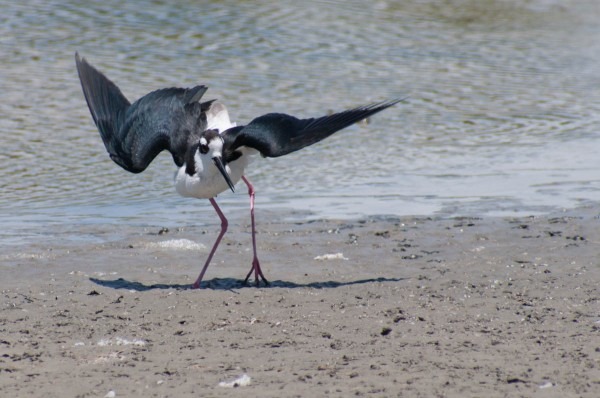 A Black-necked Stilt will do an elaborate distraction display if you wander too close to its nest.