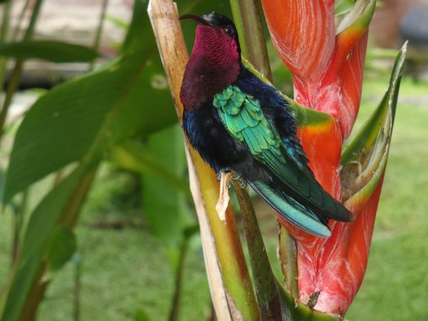 "Young photographer Luna Valenti showcased this hummingbird as a ""Vibrant"" part of St. Martin's heritage. Photo by Luna Valenti."