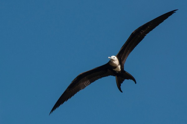 A soaring frigatebird makes a great in flight subject.