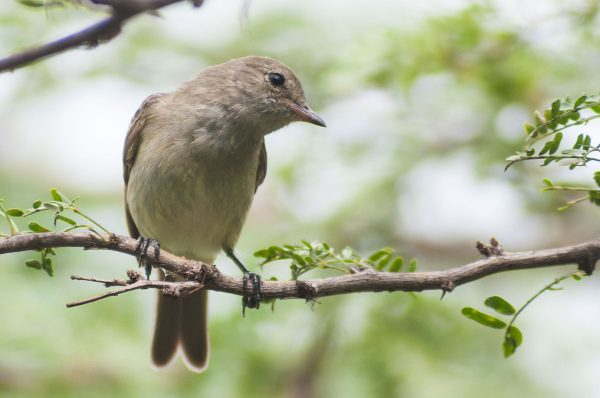 The Caribbean Elaenia can live in both forest and scrub areas, but only lives in the Caribbean.