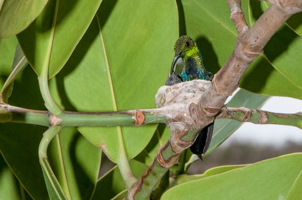 The Green-throated Carib hummingbird depends on a steady source of flower nectar to feed herself and her chicks.