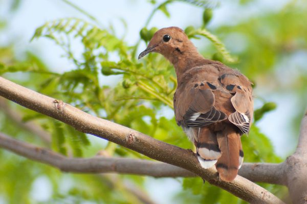 The Zenaida Dove depends on the seeds of many local plants for its diet.