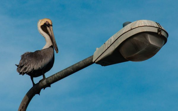 The Brown Pelican is featured in a new collection of desktop wallpapers of St. Martin birds released to commemorate the partnership.