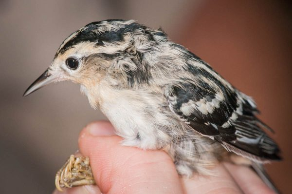 Guests will have the rare chance to see shy migratory songbirds like the Black and White Warbler at the Bird Banding Station.