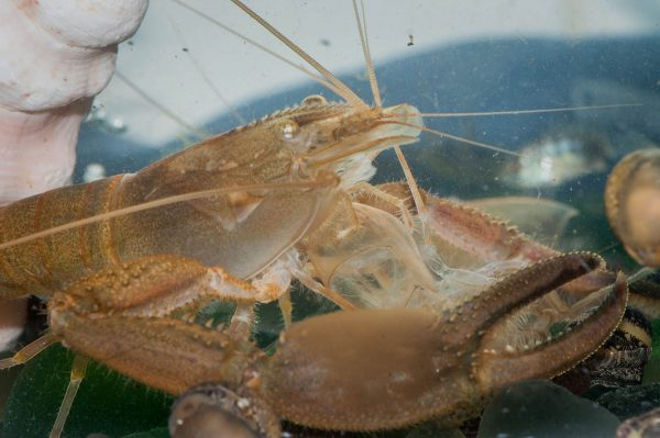 This crayfish, the apex predator of his ecosystem, is featured in the Amuseum Naturalis exhibit on St. Martin's freshwater habitats. (Photo: Mark Yokoyama)