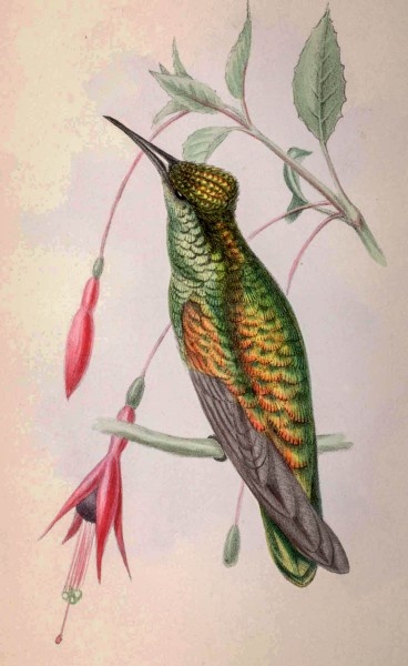 Zoological images like this hummingbird, named by 19th century mixed-race naturalist Richard Hill, will be on display at the exhibit.