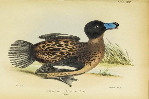 This duck species was named by 19th century Jamaican naturalist Richard Hill.