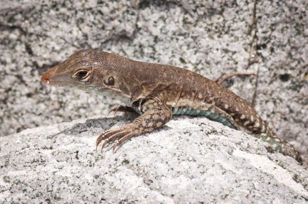 Our local Ground Lizard, a subspecies found only on St. Martin, is showcased in the St. Maarten Zoo's native animal signage.