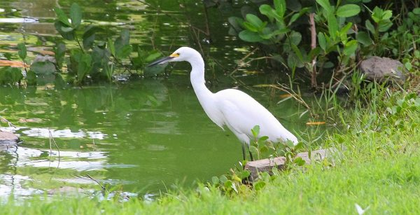 SXM fauna_Great egret at Littlebay Pond (5)