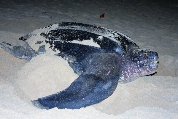 SXM fauna_nesting female leatherback at Simpsonbay (4)