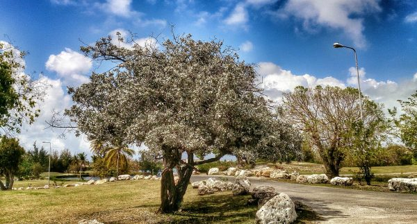 SXM flora_SIlver buttonwood in Mulletbay older than 45 years (2)