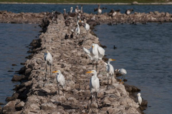 The Migratory Bird Festival will be held on Pond Island in the Great Salt Pond, a key habitat for many birds on St. Martin, including migratory species. (Photo by Mark Yokoyama)